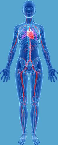 body vascular system